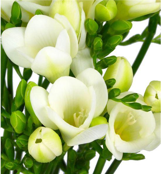 fresia-blanca (1)